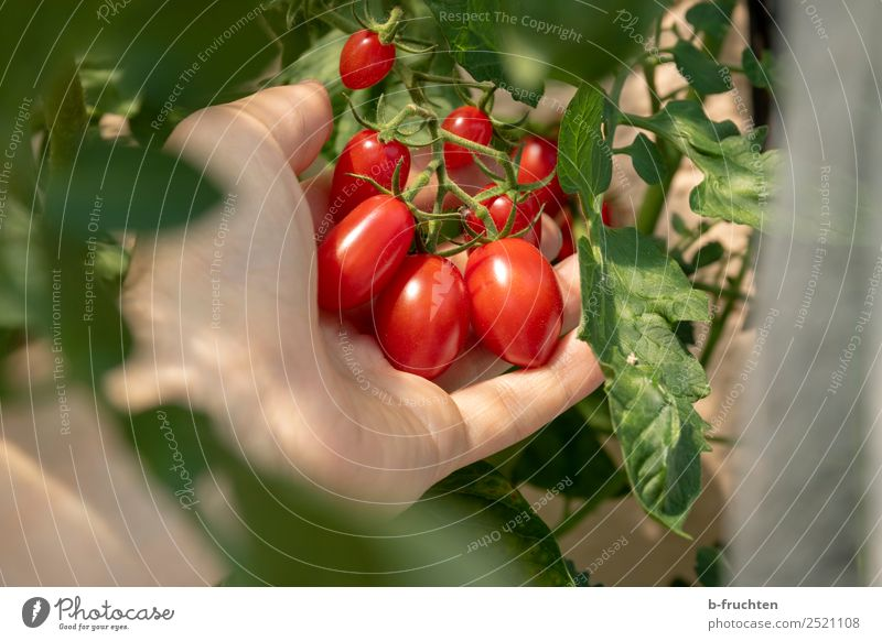 Dated tomatoes on a shrub Vegetable Organic produce Vegetarian diet Healthy Eating Man Adults Hand Fingers Bushes Agricultural crop Observe To hold on Fresh