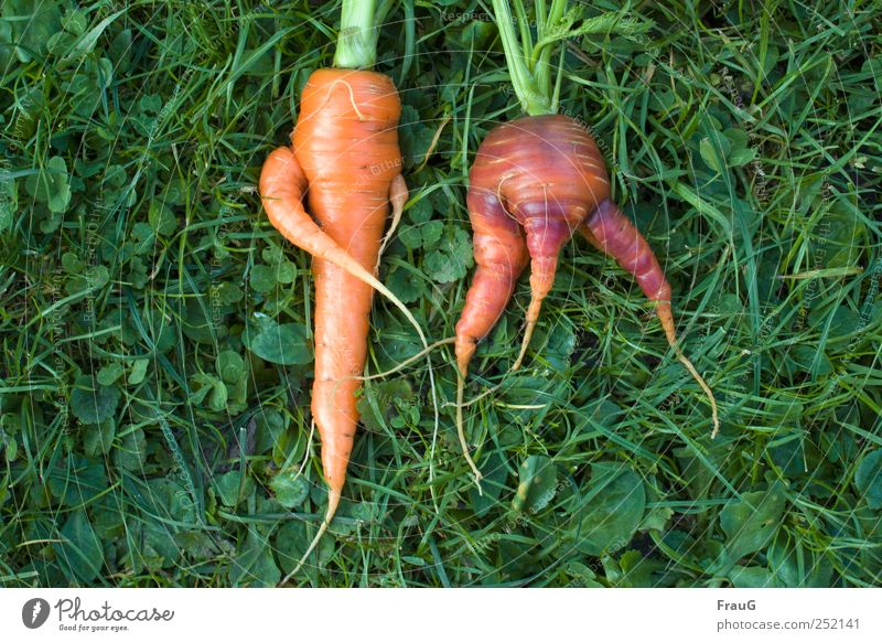 crossed and spread Vegetable carrots Organic produce Vegetarian diet Nature Plant Grass Agricultural crop Meadow Lie Delicious Natural Colour Whimsical