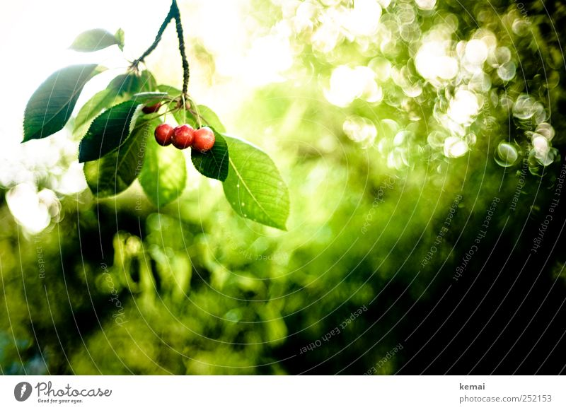 Mon Chérie in raw form Food Fruit Cherry Environment Nature Plant Sun Sunlight Summer Beautiful weather Tree Leaf Foliage plant Agricultural crop Cherry tree