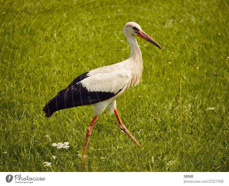 stork at green lawn Summer Nature Animal Grass Bird 1 Movement Wild Green Feather Stork Beak wildlife spring Lawn walking Colour photo Deserted