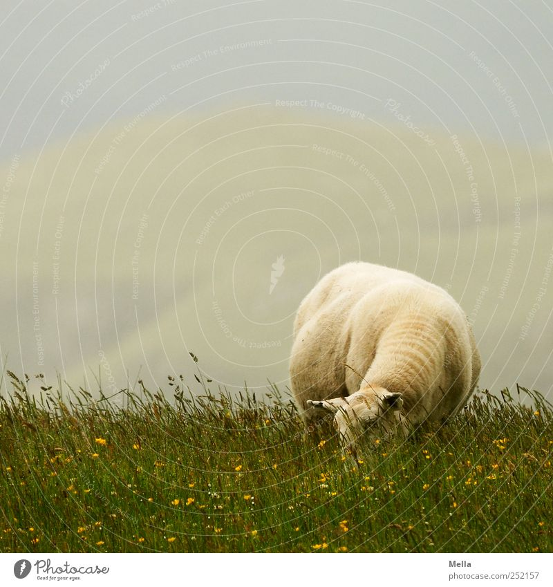 shaft day Environment Nature Landscape Meadow Animal Farm animal Sheep 1 To feed Sustainability Green Individual Colour photo Exterior shot Deserted Day