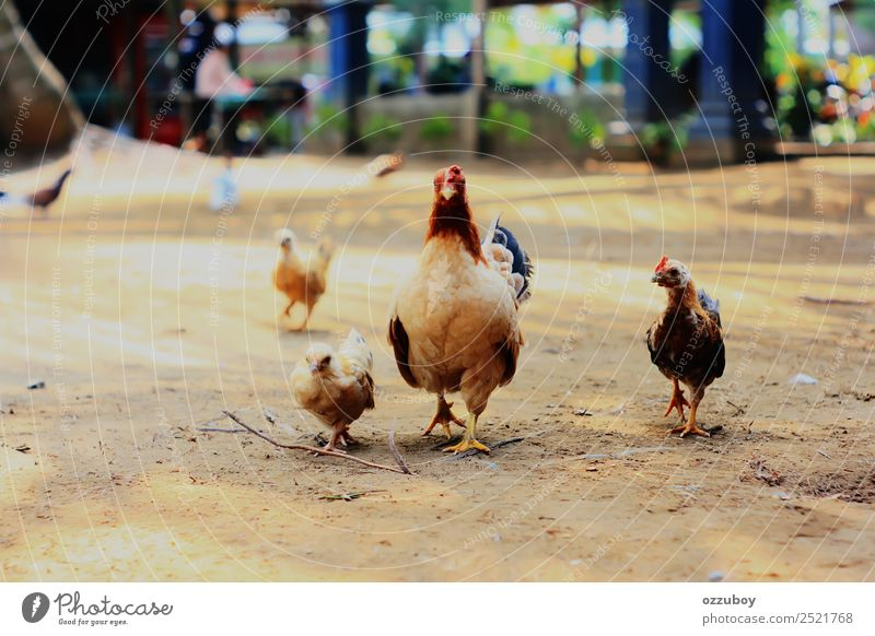 Domestic Chicken Animal Farm animal 3 4 Group of animals Baby animal Animal family Movement Self-confident Love of animals Relationship Exterior shot Walking