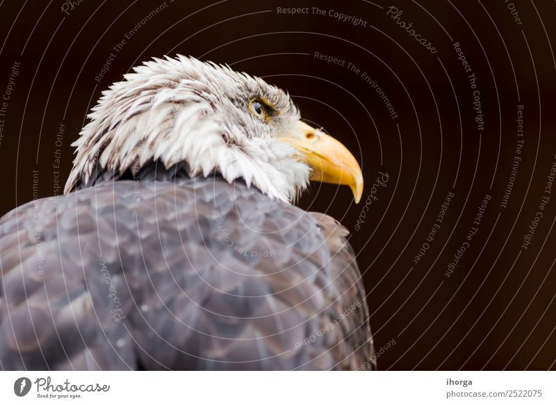 Portrait of a bald eagle (haliaeetus leucocephalus) Face Freedom Nature Animal Bald or shaved head Wild animal Bird Wing 1 Beautiful Brown Yellow Black White