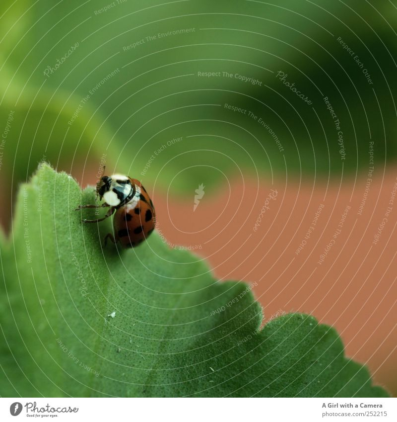 ladybug invasion Nature Animal Garden Ladybird Beetle Insect 1 Movement Crawl Glittering Beautiful Small Wild Red Search Leaf Subdued colour Exterior shot