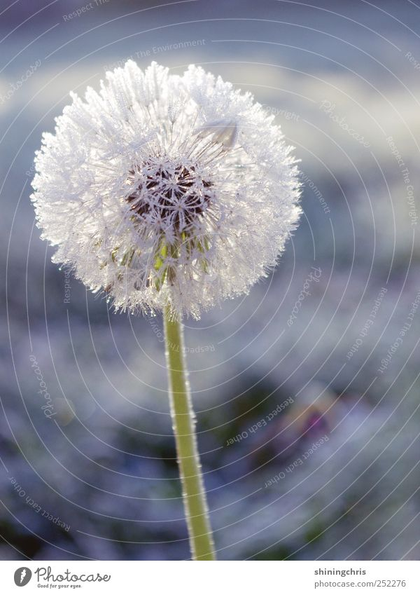 cold and frosty morning there's not a lot to say.. Plant Winter Ice Frost Dandelion Fresh Calm Uniqueness Cold Stagnating Frozen Subdued colour Exterior shot