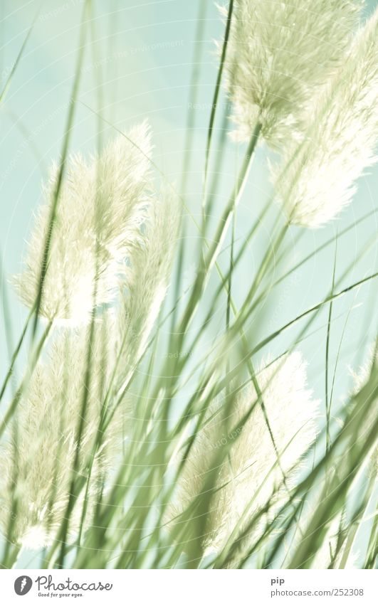 in the pampa Nature Plant Grass Foliage plant Blade of grass Pampas grass Blossom Elegant Thin Light green Delicate Soft Transience Ornamental plant