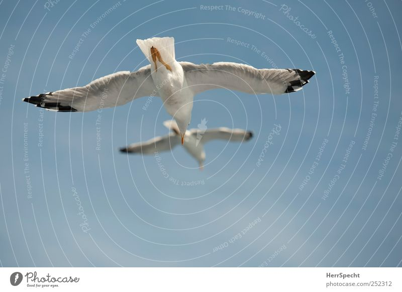 double decker Sky Beautiful weather Animal Bird Wing Seagull 2 Blue White Fly Glide Sailing updraft Pair of animals Pursue lag Freedom Formation flying Parallel