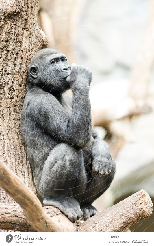 Gorilla sitting on a tree thoughtfully in daylight Face Mountain Zoo Nature Animal Park Forest Virgin forest Fur coat Wild animal 1 Natural Strong White