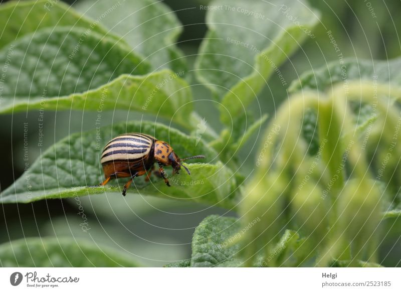 another potato beetle Environment Nature Plant Animal Summer Leaf Agricultural crop Potatoes Field Beetle Colorado beetle 1 To feed Crawl Authentic Small