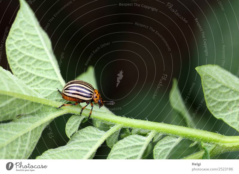 potato beetle Environment Nature Plant Animal Leaf Agricultural crop Potatoes Field Beetle Colorado beetle 1 Crawl Small Natural Brown Yellow Green Black Life