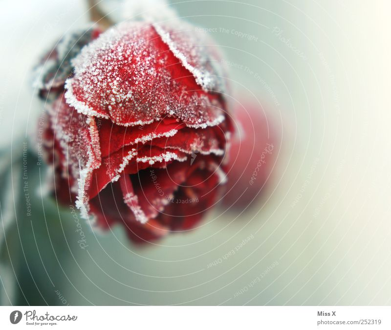 freezing Autumn Winter Bad weather Ice Frost Rose Leaf Blossom Freeze Cold End Decline Transience Hoar frost Snow crystal Rose leaves Rose blossom Red