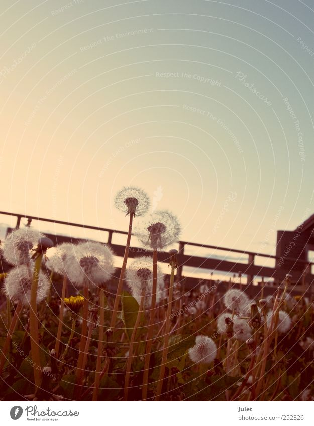 Nature Plant Flower Animal Relaxation Meadow Environment Landscape Field Retro Dandelion Cloudless sky Sky only