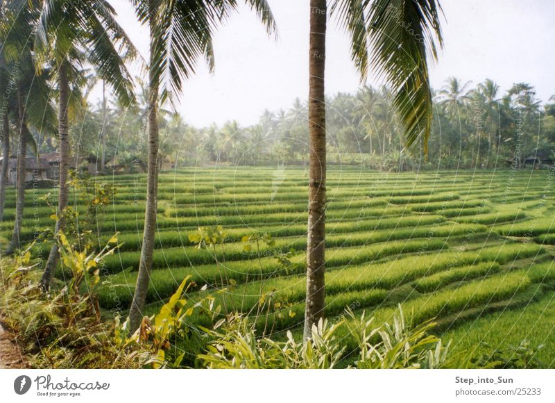 rice terrace Bali Asia Paddy field Indonesia Agriculture Mountain Rice Nature terrace cultivation Plant