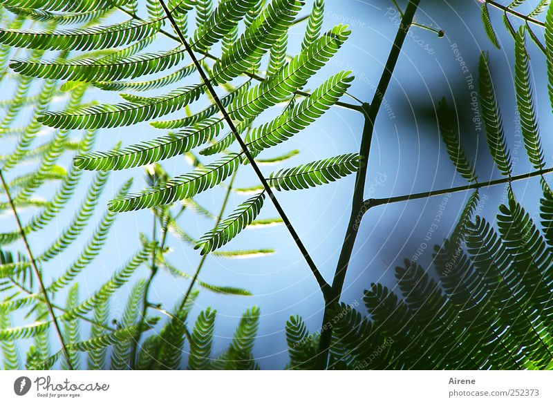 Sky Nature Blue Green Plant Leaf Environment Growth Bushes Delicate Twig Graceful Foliage plant Sensitive Mimosa Mimosa Family