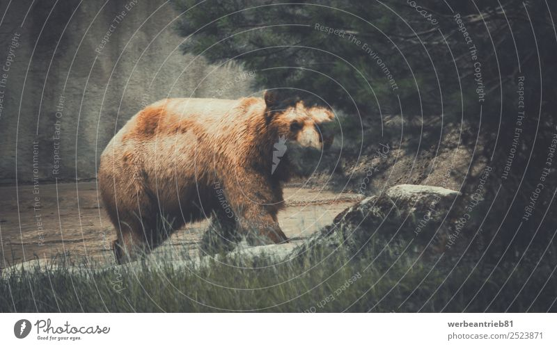The haunter Nature Animal Forest Brown Wild Park Wild animal Power Dangerous Mammal Zoo Wilderness Bear Hunter Brown bear Grizzly