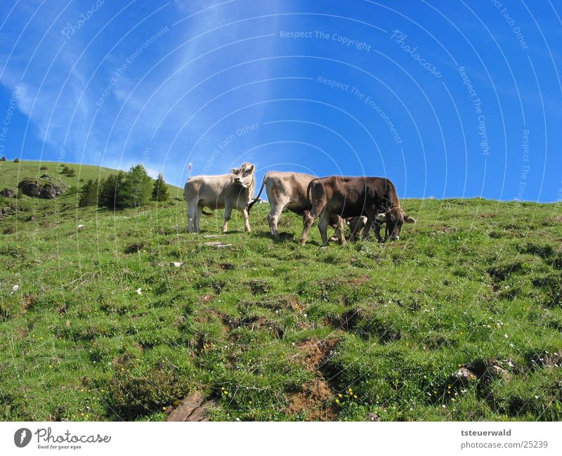 Three cows and a sky that turns blue Cow Bull Grass Sky Blue Pasture