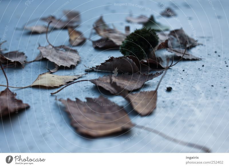 Autumn again Table Plant Leaf Natural Dry Brown Gray Moody Frustration Limp Autumnal Autumn leaves Early fall Seasons Birch leaves Transience Subdued colour
