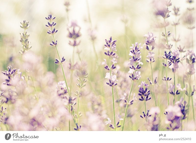 Lavender Fields Forever Nature Plant Summer Flower Garden Idyll Beautiful weather