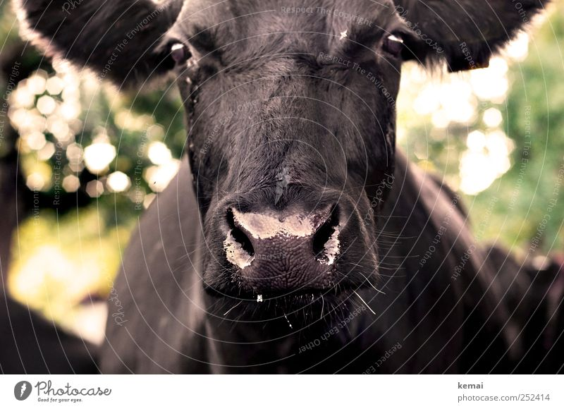 Animal Black Eyes Wet Glittering Nose Large Animal face Pelt Agriculture Cow Farm animal Cattle Impressive Livestock Nostrils