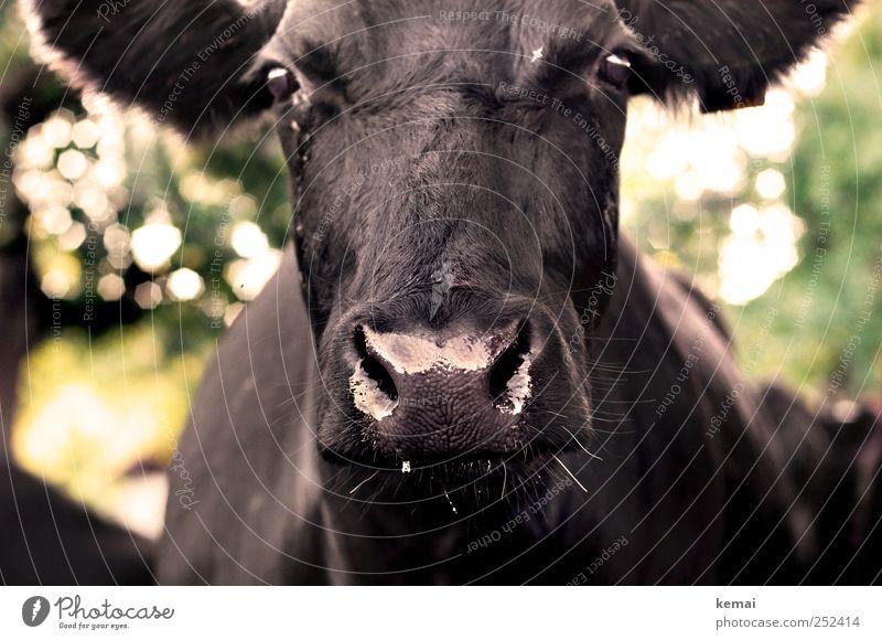 [CHAMANSÜLZ 2011] Dripping animal Animal Farm animal Animal face Pelt Cow Cattle Nostrils Nose Eyes Glittering Large Wet Black Impressive brash trickling