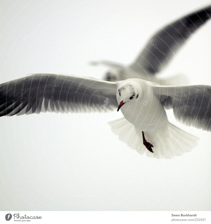 A one-legged man could cross Greenland. Ocean Environment Nature Animal Air Sky Cloudless sky Summer Fog Wild animal Bird Animal face Wing Seagull Gull birds 2