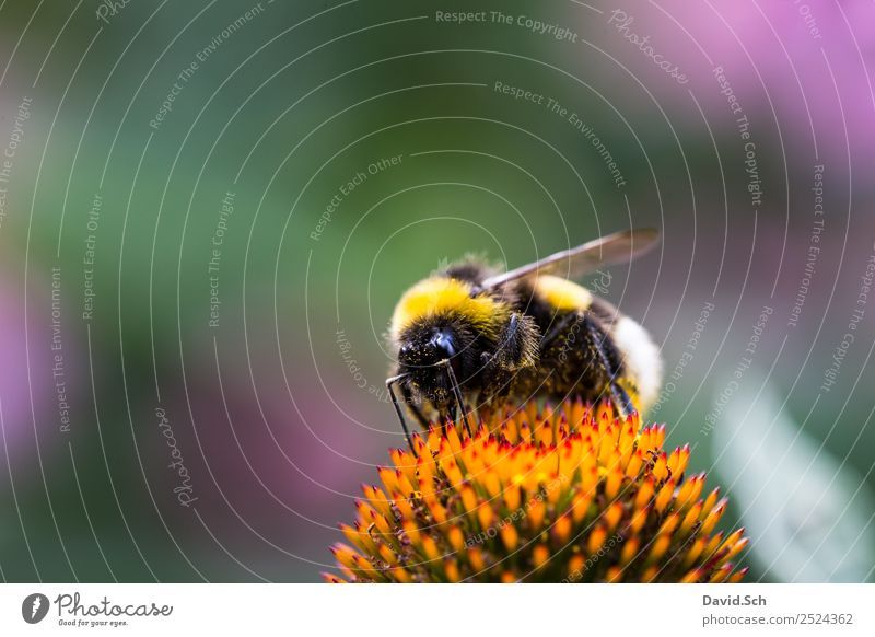 Bumblebee on a flower Nature Plant Animal Flower Blossom Pollen Wild animal Bumble bee Hair Insect Eyes 1 Work and employment Touch To feed Crawl Yellow Green