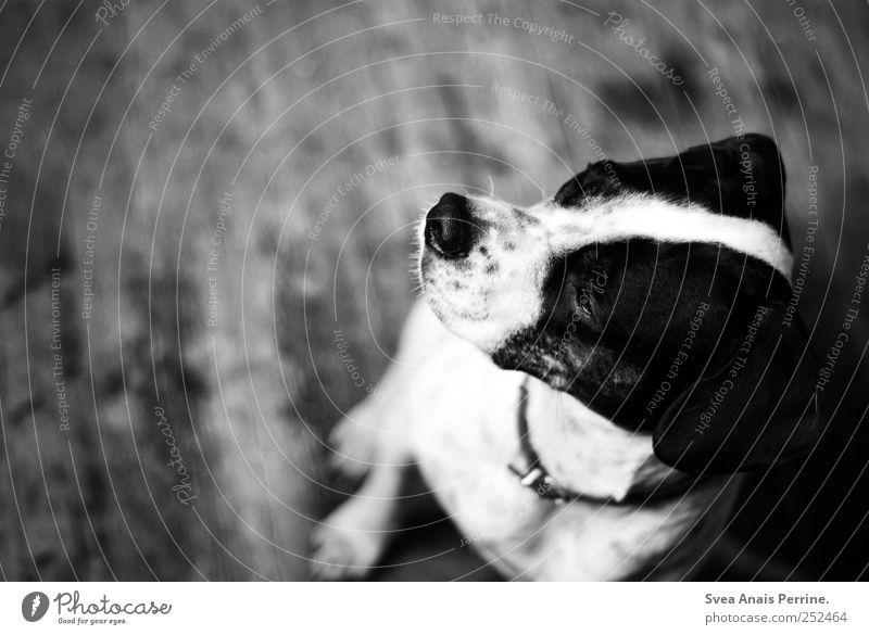 Iina. Ground Wooden floor Animal Pet Dog Boxer Crossbreed 1 Sit Sadness Longing Homesickness Wanderlust Black & white photo Interior shot Copy Space left