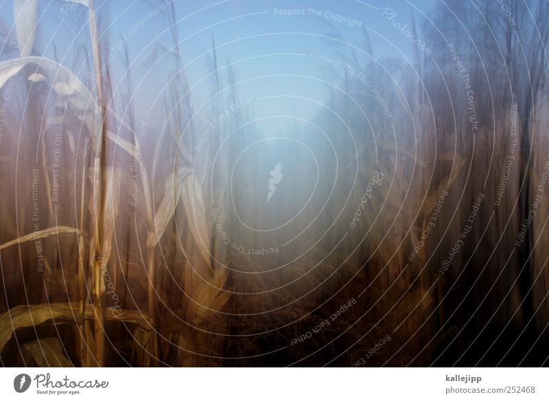 cornflakes Environment Nature Landscape Plant Animal Climate Agricultural crop Field Sustainability Maize field Agriculture Organic produce Biology Hallowe'en