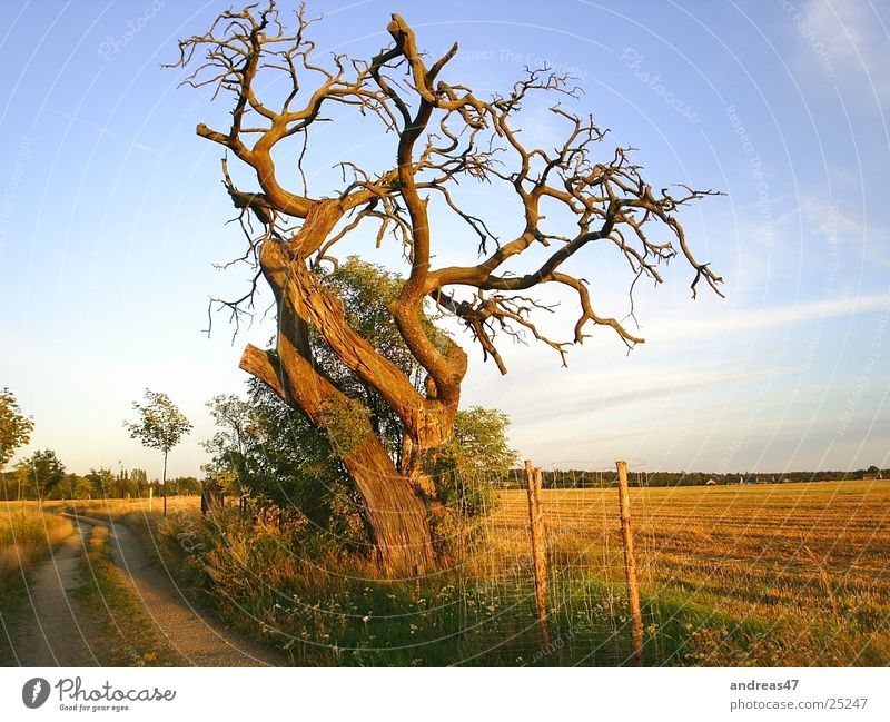 Tree in the evening light Oak tree Sublime Evening Old Think