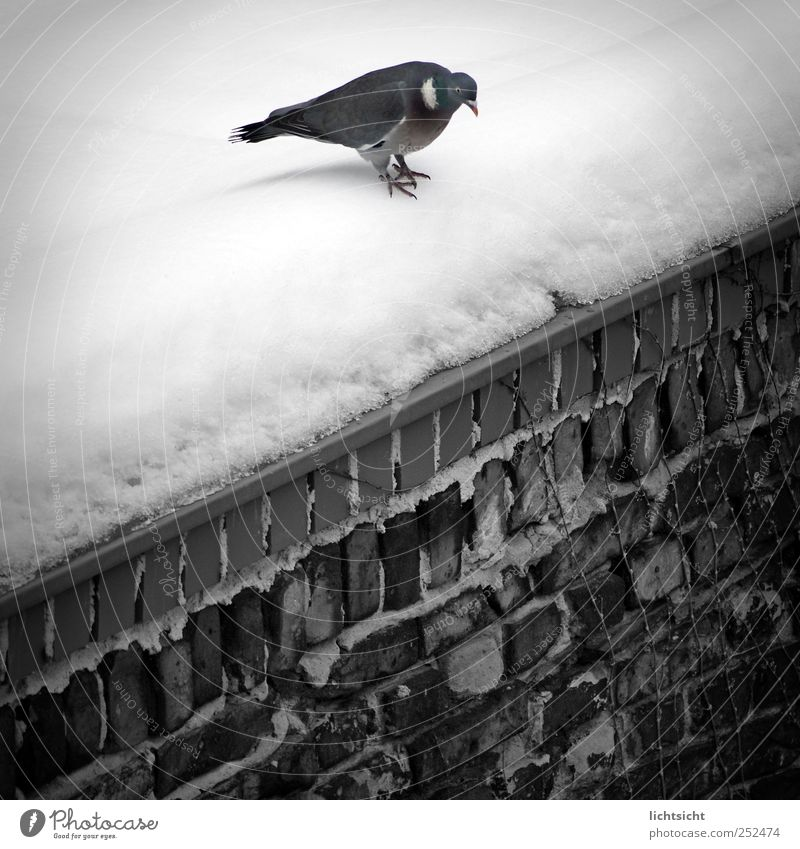 """Fucking cold, I'm jumping!"" Winter Weather Ice Frost Snow Wall (barrier) Wall (building) Roof Animal Bird Pigeon 1 Cold Jump Corner Edge Queer fish Tilt Brick"