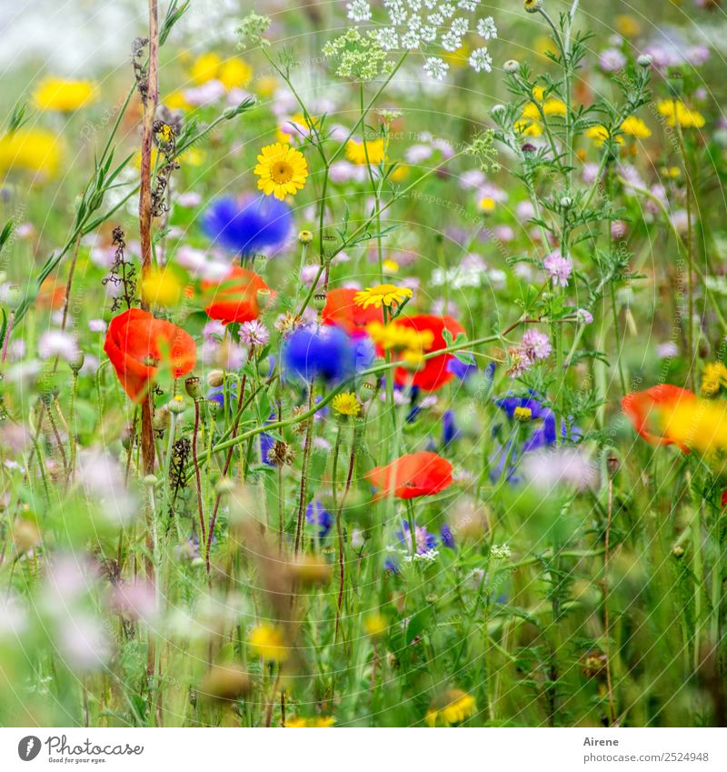 not only Mondays flowers Plant Flower Poppy blossom Cornflower Marguerite Meadow flower Flower meadow Blossoming Growth Blue Multicoloured Yellow Green Red