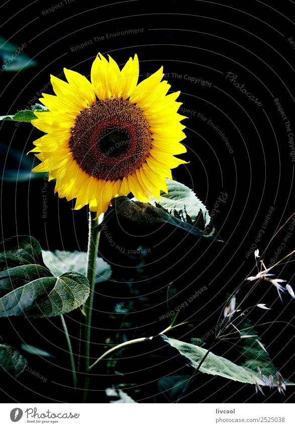sunflower in the dark Happy Beautiful Summer Sun Nature Landscape Plant Clouds Flower Leaf Field Hill Village Exceptional Uniqueness Yellow Green Black