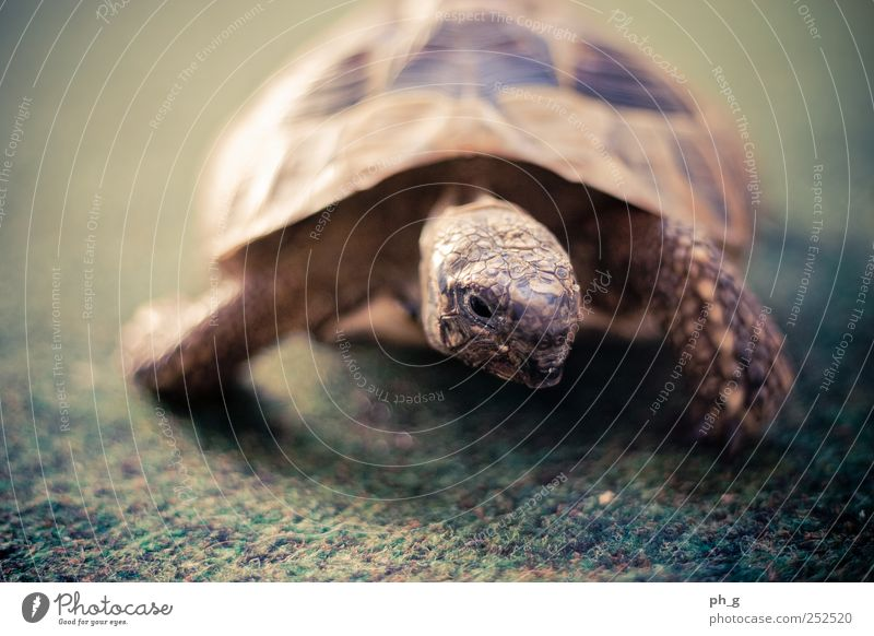 Tank-Bokeh Animal Pet Wild animal Scales Turtle Greek tortoise Tortoise-shell 1 Observe Brown Green Claw Carpet Colour photo Close-up Deserted Day
