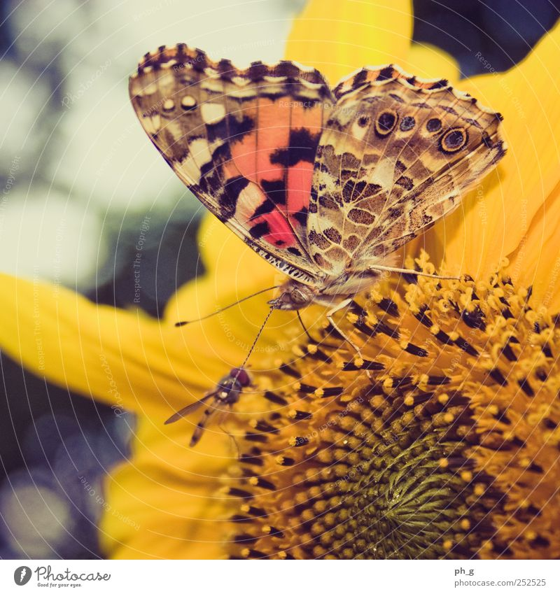 Meet me in the sunflower Plant Animal Blossom Sunflower Garden Wild animal Fly Butterfly Wing Painted lady Hover fly Feeler Trunk Proboscis 2 To feed