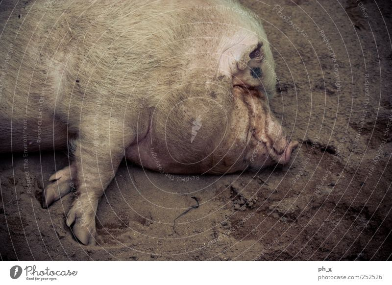 Chill, dude Animal Farm animal Pelt Paw Zoo Petting zoo Swine 1 To enjoy Lie Sleep Dirty Brown Pink Contentment Colour photo Exterior shot Deserted