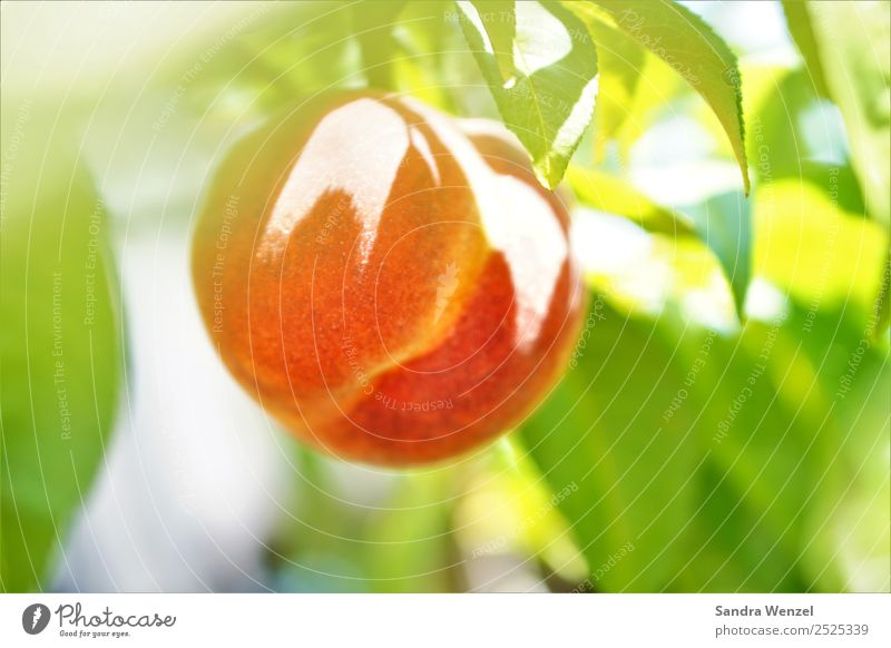 peach Environment Nature Plant Summer Climate Climate change Tree Agricultural crop Garden Illuminate Fresh Healthy Delicious Juicy Yellow Green Orange Red