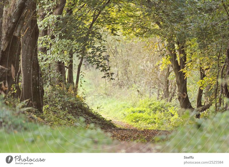 Forest path into the light Environment Nature Landscape Summer Autumn Plant Tree Leaf Wild plant Forest plant Leaf canopy Deciduous forest Deciduous tree