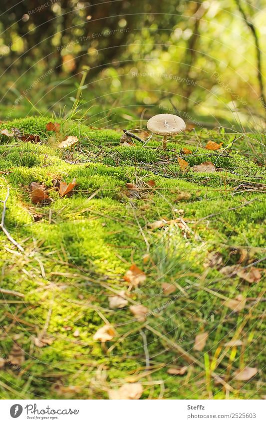 Mushroom search in the moss mushroom search Mushroom cap Moss sunny autumn day golden october Autumn leaves Woodground Automn wood naturally Green