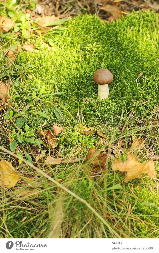 Like a mushroom in a moss Environment Nature Plant Autumn Grass Moss Wild plant Mushroom Mushroom cap Living thing Autumn leaves Leaf Forest Woodground