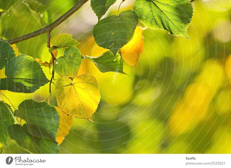 late summer Environment Nature Plant Summer Autumn Beautiful weather Leaf Lime leaf Lime tree Twig Twigs and branches Deciduous tree Park Forest Yellow Green
