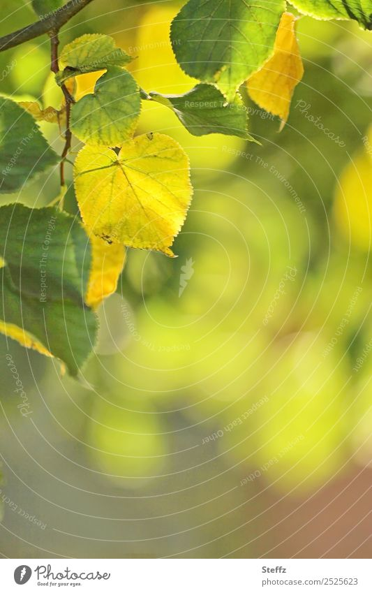 end of summer Environment Nature Plant Summer Autumn Leaf Lime leaf Lime tree Twig Twigs and branches Deciduous tree Autumn leaves Park Forest Beautiful Yellow