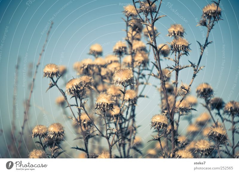 end of season Plant Dry Blue Brown Limp Thistle Autumn Faded Gloomy Subdued colour Exterior shot Deserted Isolated Image Sunlight Shallow depth of field