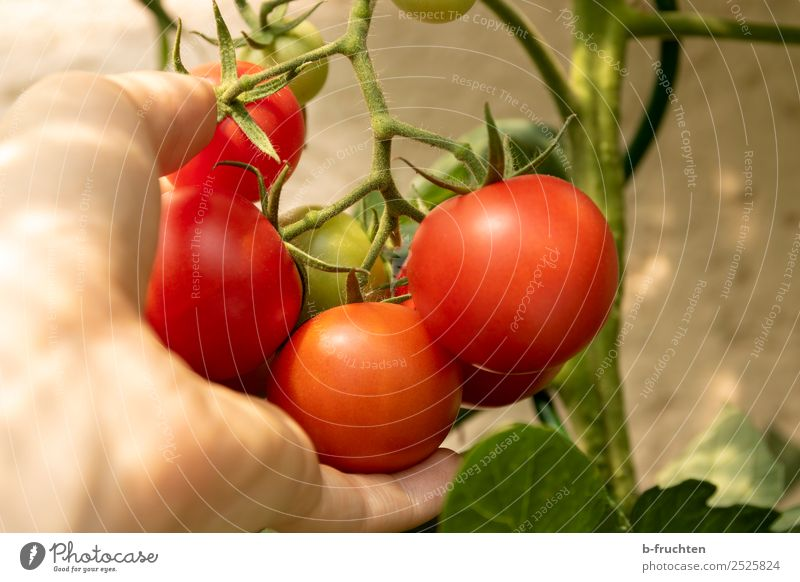 Ripe tomatoes on a shrub Vegetable Organic produce Vegetarian diet Healthy Eating Hand Fingers Summer Autumn Plant Bushes Agricultural crop Garden Select