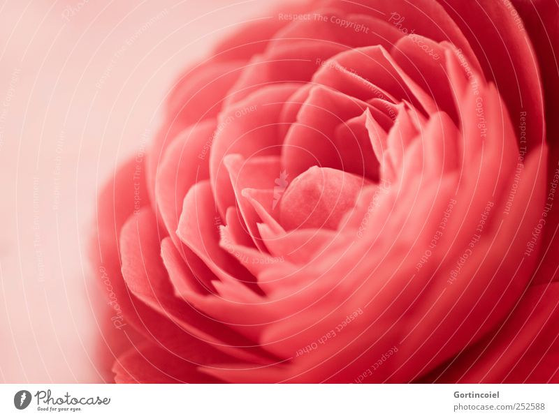 camellia Environment Nature Plant Flower Blossom Beautiful Red Camellia japonica Blossom leave Flowering plant Blossoming Colour photo Close-up Detail