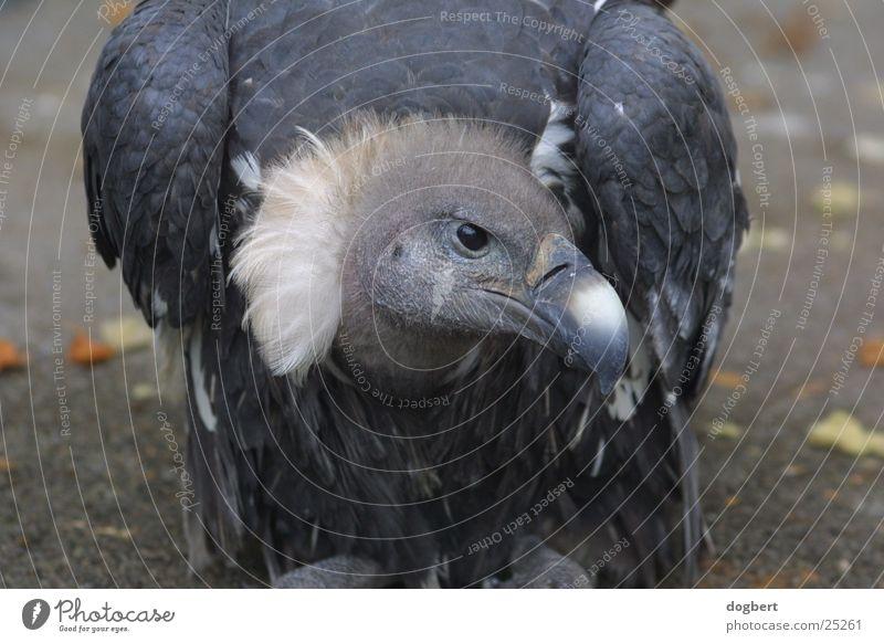 Animal Bird Desert Zoo Cologne Evil Sahara Tight-fisted Vulture Scavenger