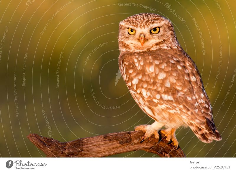 Cute owl, small bird with big eyes in the nature Nature Beautiful Green White Animal Forest Black Yellow Funny Natural Small Bird Brown Wild Gold Feather