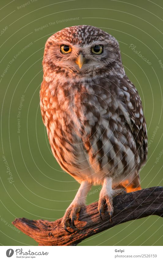 Cute owl, small bird with big eyes in the nature Beautiful Nature Animal Forest Bird Wing Small Funny Natural Wild Brown Yellow Gold Green Black White wildlife