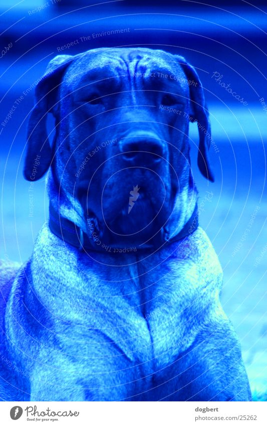 Blue Dog - Great Dane in blue blue dog