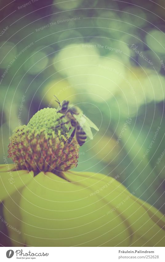 Busy little bee. Environment Nature Plant Animal Summer Flower Blossom Garden Park Meadow Wild animal Bee 1 Work and employment Feeding Yellow Green