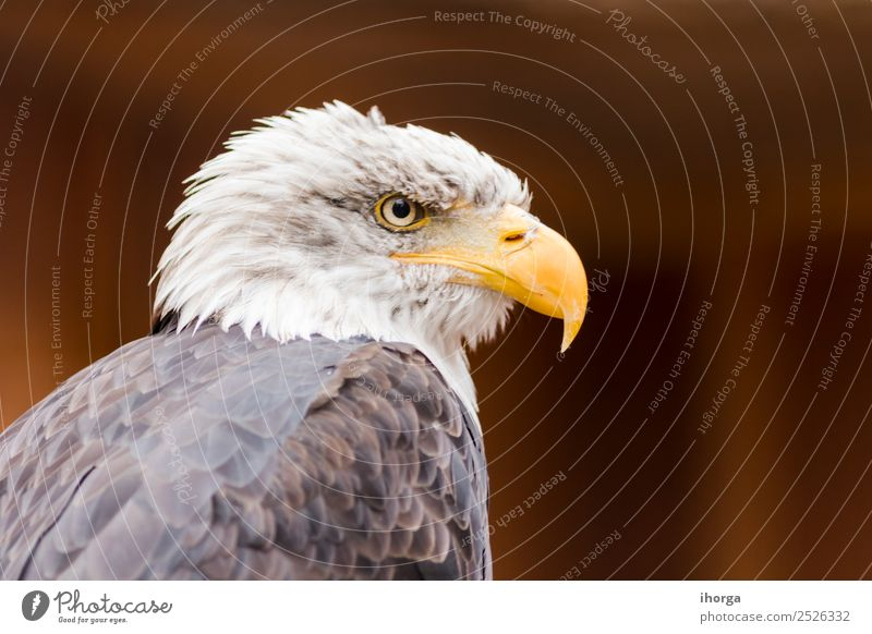 Portrait of a bald eagle (haliaeetus leucocephalus) Face Freedom Nature Animal Bald or shaved head Wild animal Bird Wing 1 Brown Yellow Black White American